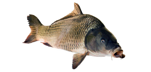 Carp on white background