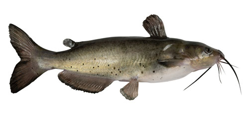 Bullhead Catfish on white background