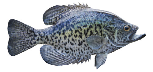 Black Crappie on white background