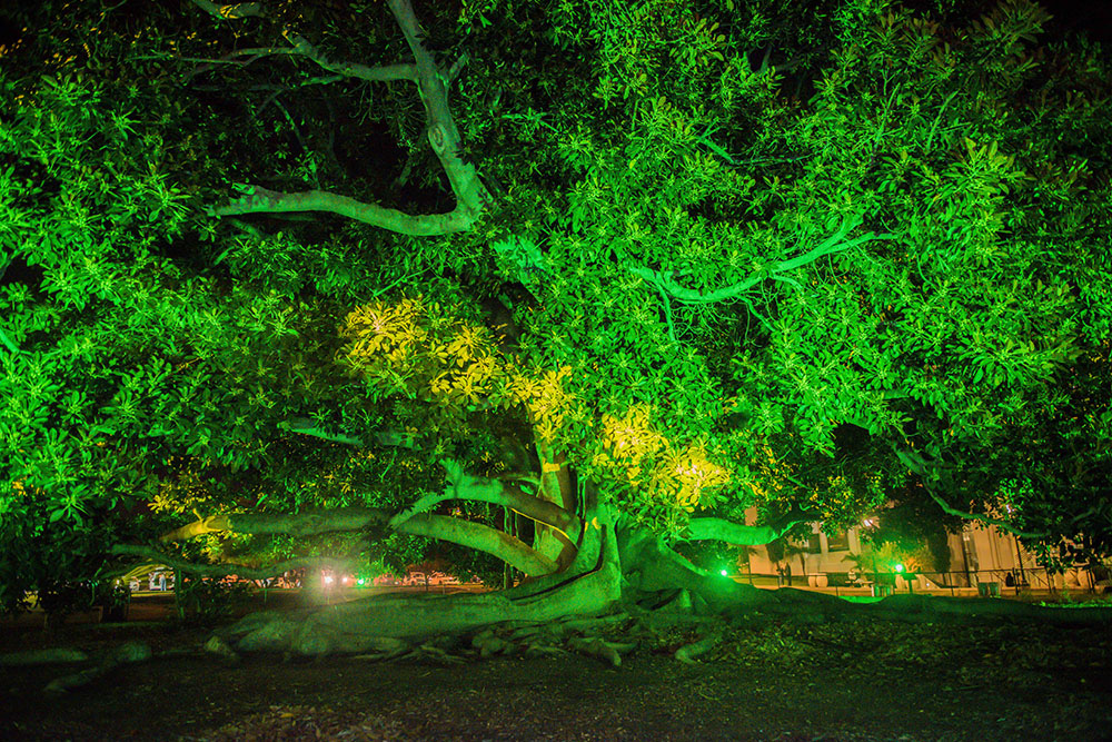 The Fig Tree illuminated with green light at December Nights 2017