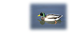 Photo of duck in lake
