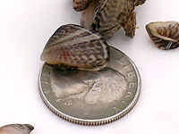 Photo of Quagga Mussel and a Quarter