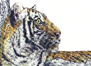 Drawing of a tiger.