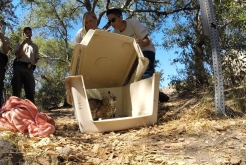 Rehabilitated Bobcat Released