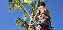 Photo of Palm Tree Being Trimmed