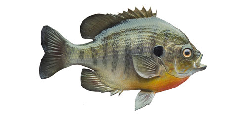 Bluegill Sunfish on white background